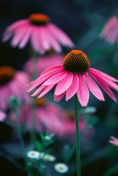 Echinacea, one of my all time favorite herbs for fighting off a cold and sore throat. And I'm not alone. The World Health Organization, German health authorities and the European Scientific Cooperative on Phytotherapy all endorse echinacea as a supportive