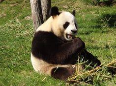 Panda de Beauval