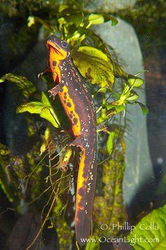 I are newt  (swordtail newt)