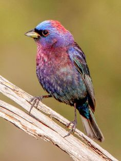 ムラサキノジコ Varied Bunting (Passerina versicolor)