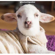 La cordera Clarita cada día se siente más a gusto en el Santuario junto a sus cuidadores y nuevos amigos!  Cuando se recuesta su carita de tranquilidad nos hace pensar una sola cosa: Qué bien se siente vivir en libertad!  -- #HappySunday #Buenastardes #SantuarioIgualdad #iLoveSheep #sheepsofinstagram #kindness #InstaChile #InstaLike  #crueltyfree #dairyfree #veganofig #vegan #govegan #friendsnotfood #animalrights #animalliberation #lamb #sheep #animalfriends #animalsofinstagram…