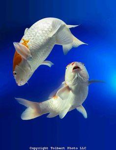 Koi fish tropical oriental fish Yin Yang two KOI interact