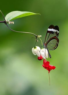 touchn2btouched, butterfly with transparent wings