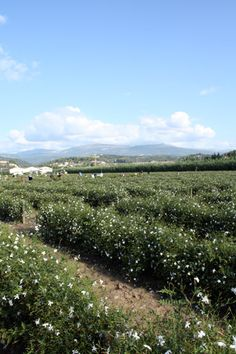 To smell the rose and jasmine harvested in Grasse, France for Chanel N°5.