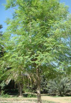 Horseradish Tree