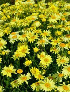 Anthemis tinctoria 'E. C. Buxton', Chamomile