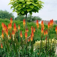 Alcazar Red Hot Poker is a beautiful long-blooming perennial. Perennial Bushes, Long Blooming Perennials, Sun Perennials, Purple Perennials, Red Hot Poker Plant, Small Shrubs, Trees And Shrubs, Climbing Vines, Plants
