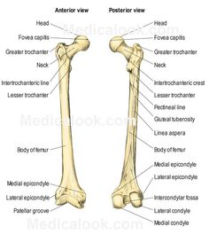Femur Bone Anatomy Femur Anatomy On Healthfavo Health Medicine And Anatomy Human Body Bones, Human Body Anatomy, Human Anatomy And Physiology, Medical Coding, Medical Science, Radiology Schools, Radiology Student, Anatomy Bones, Leg Anatomy
