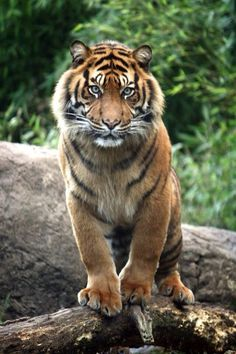 When a man wants to murder a tiger he calls it sport; when a tiger wants to murder him he calls it ferocity. George Bernard Shaw Pet Birds, Most Beautiful Animals, Beautiful Cats, Beautiful Creatures, Chat Lion, Big Cats, Cool Cats, Wild Creatures, Tiger Stuffed Animal
