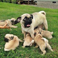 Mama pug is slightly overwhelmed