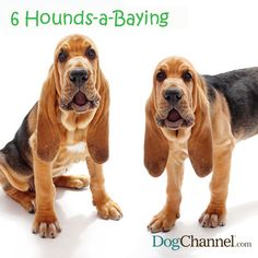 Bloodhounds Photo by Gina Cioli, Bowtie Inc.