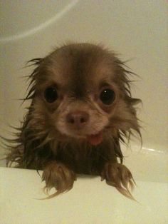 Chihuahua took a bath Chihuahua Love, Chihuahua Puppies, Cute Puppies, Cute Dogs, Super Cute Animals, Cute Baby Animals, Funny Animals, Cutest Animals, Friday Funny Pictures