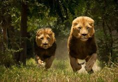Whoa. I've never seen a picture of lions like this. The photographer must be incredibly brave