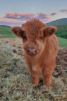 creds: @abigailpearl11 | fatmoodz Cute Baby Cow, Baby Animals Super Cute, Baby Cows, Cute Cows, Cute Little Animals, Cute Funny Animals, Cute Babies, Baby Farm Animals, Cute Baby Pigs