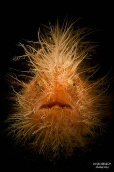 Hairy Frogfish // photo by Daniel Selmeczi