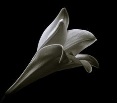 Easter Lily Study II