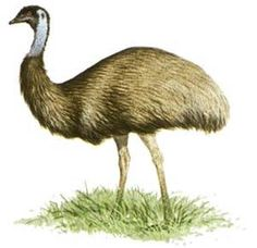 ostrich - Bing Images