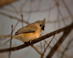 Tufted Titmouse Bird Photography Gifts under 25,gray,sky blue,nature   VanillaExtinction - Photography on ArtFire