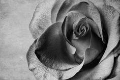 Rose Reloaded Still Life, Van, Rose, Photography, Macros, Fotografie, Pink, Photograph, Vans