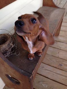 Dachshund. Miniature dachshund. Dachshund puppy.