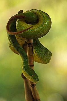 white lipped green pit viper, highly venomous snake, (Trimeresurus albolabris) | Flickr - Photo Sharing!