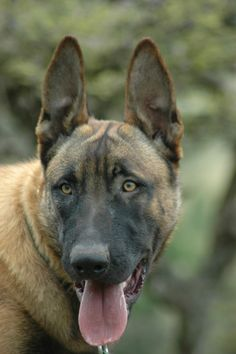 Rommel, a Level Two Belgian Malinois male Personal Protection dog from ridgeback k9