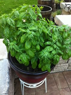 7 tips for growing mad giant basil plants   Offbeat Home