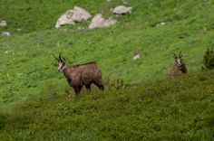Chamois in the Tatra Mountains during wildlife observations.