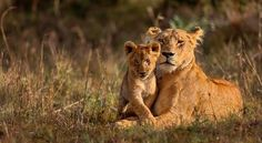 If the lion& habitat is further destroyed, the population will be . - If the lion& habitat is further destroyed, the population will decrease further over the next - Beautiful Cats, Animals Beautiful, Cute Baby Animals, Animals And Pets, Wild Animals, Lioness And Cubs, Lioness And Cub Tattoo, Gato Grande, Cutest Animals