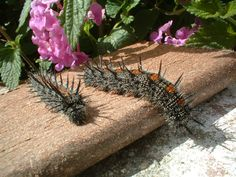 Mourning Cloak caterpillars traveling through my yard today . . . what a blessing to see!