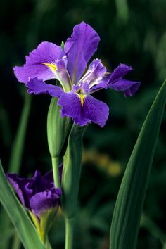 Pictures of the beauty that grows in my garden Iris Flowers, Bulb Flowers, Flowers Nature, Tropical Flowers, Spring Flowers, Beautiful Flowers, Flower Farm, My Flower, Gothic Garden