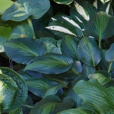 Lush Shade Garden With Hostas Hosta 'Goldbrook Glimmer' Sturdy blue leaves with a splash of yellow-green in the center, with lavender flowers in summer. Grows up to 20 inches tall and 30 inches wide in Zones 3 to Photo: Alison Rosa Shade Garden Plants, Hosta Plants, Shaded Garden, Flowers Garden, Garden Landscape Design, Garden Landscaping, Zone 8 Plants, Hosta Varieties, Hosta Gardens