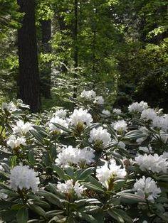 "alppiruusu ""Boule de Neige"", erityisen hyvä talvenkesto."