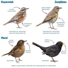 Infographic lijsters en merel (thrush and blackbird) Birds In The Sky, Love Birds, Beautiful Birds, Bird Poster, Kinds Of Birds, Sea Fish, Little Birds, Colorful Birds, Wildlife Art