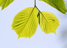 Camperdown Elm leaves (Ulmus glabra)