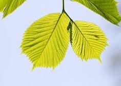 Camperdown Elm leaves (Ulmus glabra)
