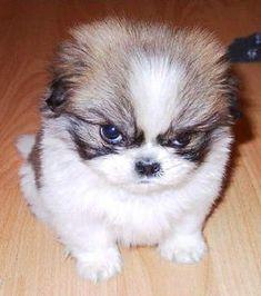 10 Pups React To Chris Christie's Bridgegate! http://www.babble.com/pets/10-pups-react-to-bridgegate/ #dogs #puppy #bridgegate #chrischristie
