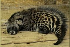 African Civet is a common viverrid native to tropical Africa. Unlike many other members of the family, which resemble cats, the African Civet resembles a short dog-like animal. Interesting Animals, Unusual Animals, Rare Animals, Animals And Pets, Funny Animals, Wild Animals, Beautiful Creatures, Animals Beautiful, Animals Amazing