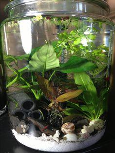 3 gallon planted jar aquarium with red cherry shrimp.