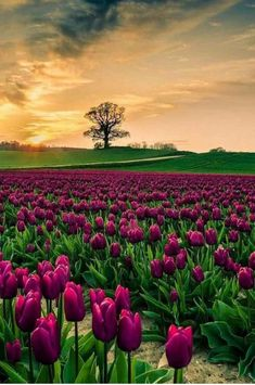 Field of tulips in the sunset ! Photography by unknown photographer # nature Beautiful Flowers, Beautiful Places, The Colour Of Spring, Tulip Fields, Field Of Tulips, Purple Tulips, Spring Photos, Photos Voyages, Belle Photo