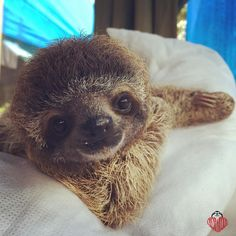 Best unique funny gift tshirt ideas for Sloth lover Sloth owners. sloth, slothy, slothfunny, gift for sloths lovers Baby Sloth Pictures, Sloth Photos, Cute Animal Photos, Animal Pictures, Cute Baby Sloths, Cute Baby Animals, Sloth Sleeping, My Spirit Animal, Cute Creatures
