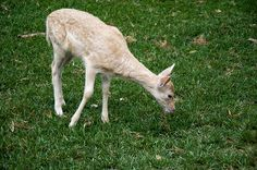 Single White Fallow Deer Fawn