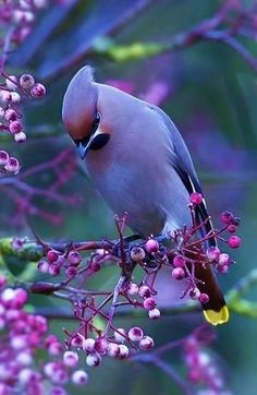 This lovely bird photo features one of my favorite birds, the cedar waxwing. Cute Birds, Pretty Birds, Beautiful Birds, Animals Beautiful, Cute Animals, Beautiful Bird Wallpaper, Exotic Birds, Colorful Birds, Exotic Animals