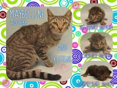 MAYBELLINE - A1074788 AND KITTENS A1074789, A1074790, A1074791 - - Manhattan  Please Share:   ***TO BE DESTROYED 05/29/16***MOMMA MAYBELLINE AND KITTIES – BELAFONTE, CADENCE, CARMICHAEL  ALL DUMPED AFTER BEING FOUND BECAUSE THAT PERSON COULD NOT KEEP! – REALLY SMART DUMPING THIS FAMILY AT A HIGH KILL SHELTER ON A HOLIDAY WEEKEND! MOMMA MAYBELLINE IS NOT LISTED! JUST THE BABIES! So now the (3)-2 week olds are fending for themselves and need an angel and a New Hop