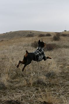 Doberman Pinscher,running like a child  #dobermans