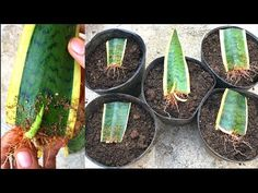 Grow snake plant from leaves Fairy Garden Pots, Inside Garden, Bottle Garden, Snake Plant Propagation, Plant Cuttings, Types Of Succulents Plants, Planting Succulents, Jade Plants, Garden Wall Art