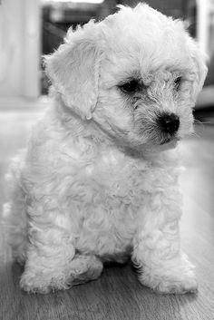 Little White Bichon Frise Puppy