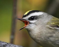 Golden-crowned Kinglet by Canonshooterman