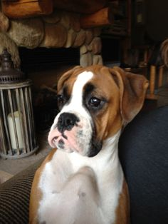 Boxer Dog >>> Click image to review more details and tips about pet dogs.
