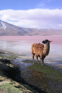 """Drama llama:  """"Nature doesn't hold a candle to my fabulousness."""""""